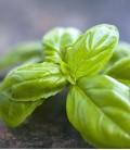 Basilic, Graines Biologiques Minigarden